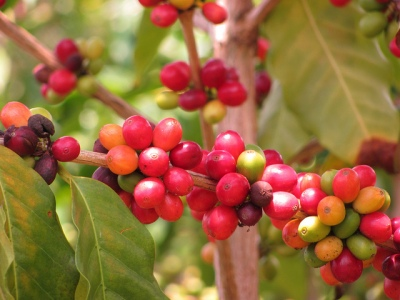 Arabica coffee beans. Source: Malcolm Manners