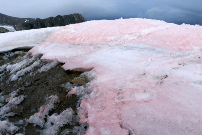 Snow algae speeds up Arctic melting: Tiny creatures with a big impact